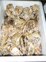画像1:  殻付き浦村牡蠣(50個入り) (1)